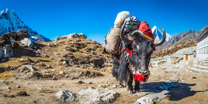Sherpa Yak