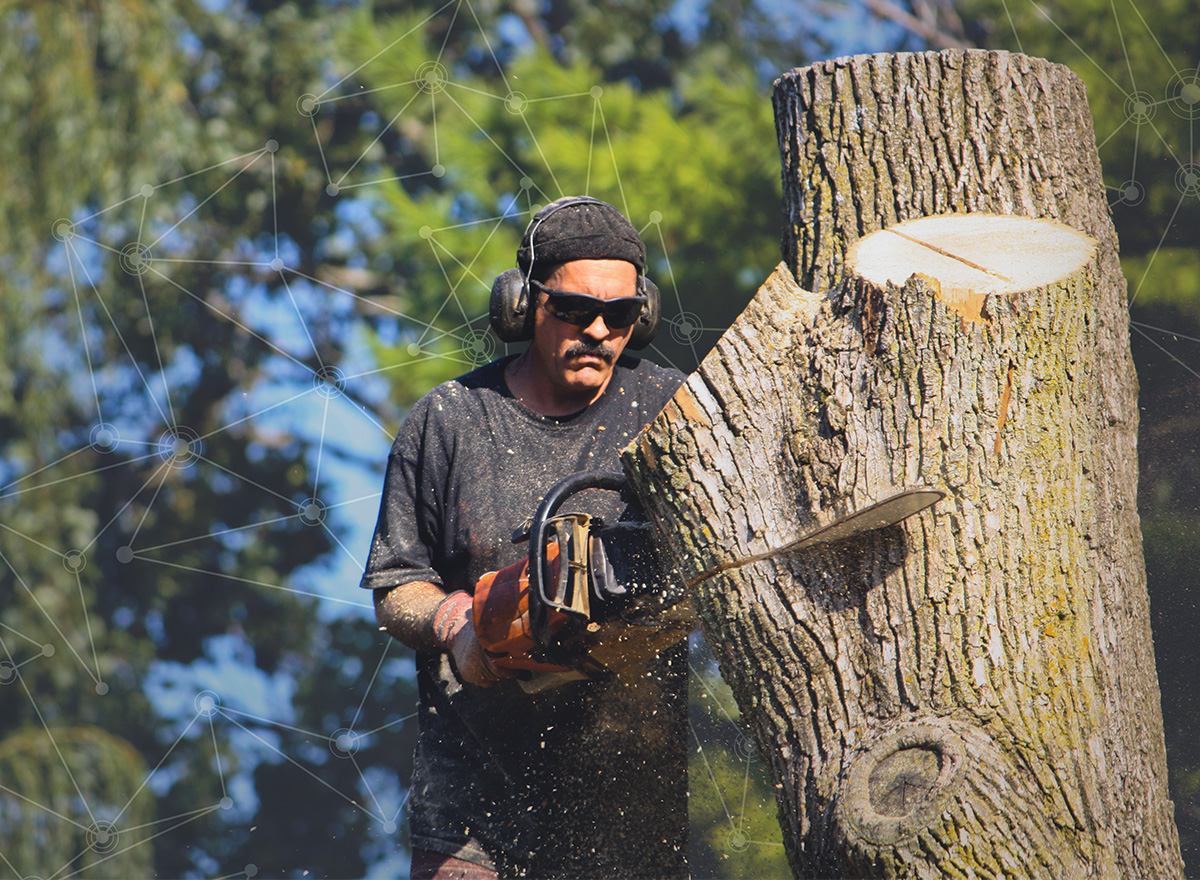 Forestry worker removing a tree infested by Emerald Ash Borer